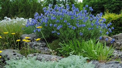bodendecker pflanzen winterhart 915 z 228 he sch 246 nheiten pflanzen f 252 r den steingarten mdr de