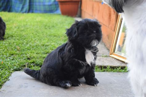 shih tzu puppies for sale perth shih tzu puppies perth perthshire pets4homes