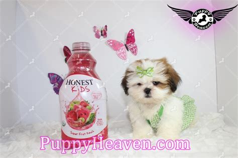 shih tzu puppies las vegas for sale shih tzu puppy for sale los angeles ca image breeds picture