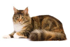 Makanan Anak Kucing Royal Canin Kitten Maine Coon 400gr petshop cilegon laman 2 zafran petshop