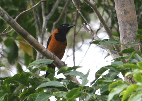 hooded pitohui a poisonous bird amazing creatures
