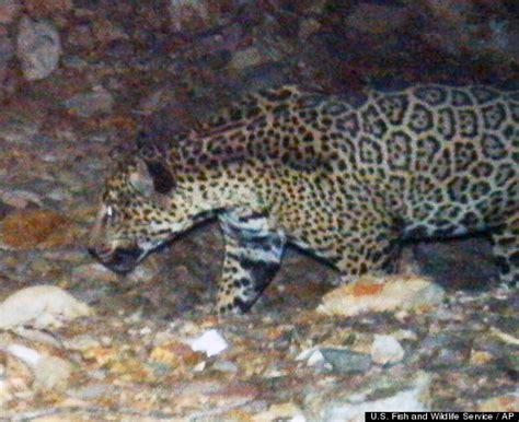 through golden jaguar photos from arizona s santa