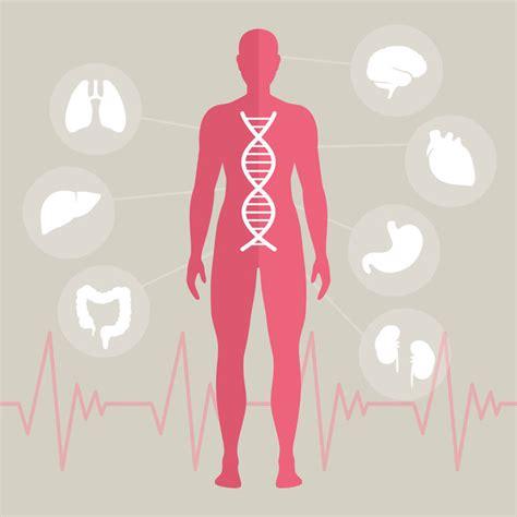 der menschliche körper innere organe organe de wissenswertes 252 ber den menschlichen k 246 rper