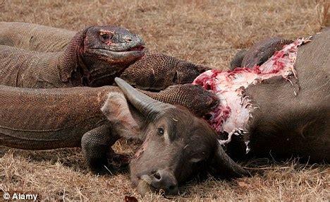 how the komodo dragon can kill a buffalowith a bite
