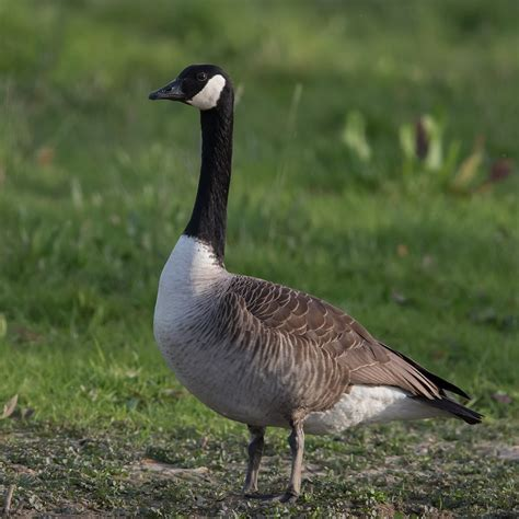 Canadian Goose Photos kanadagans