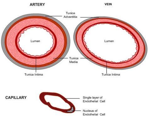 diagram of arteries cross section of an artery vein and capillary nursing
