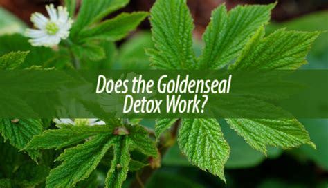 Do Detox Work by Does The Goldenseal Detox Work Home Remedies Guide