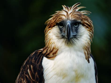 Philippine Eagle Wallpaper 4 philippine eagle hd wallpapers backgrounds wallpaper