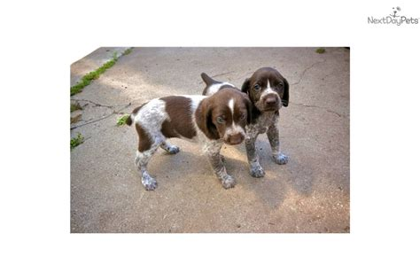 german shorthaired pointer puppies california german shorthaired pointer puppy for sale near ventura county california 9f43e0d6 7491