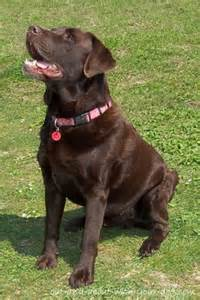 chocolate lab puppy names chocolate lab names breeds picture