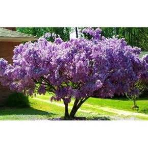 wisteria tree zone 4 9 garden pinterest