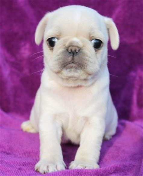 looking after a pug puppy 17 best ideas about pug puppies on pug puppies pugs and pugs