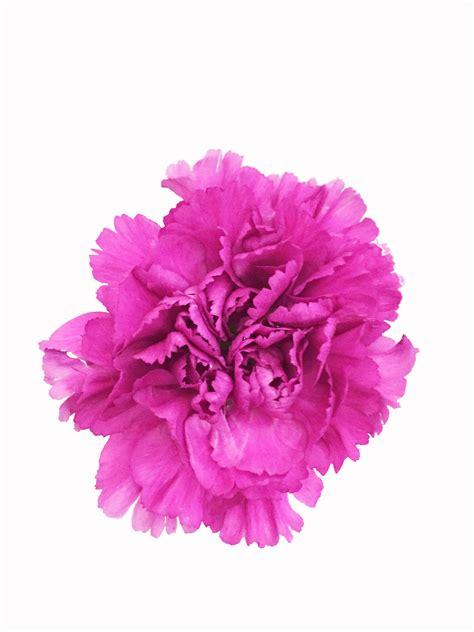 purple carnations  bulk metropolitan wholesale nj