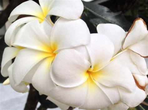 wallpaper bunga kacapiring gambar mekar menanam putih daun bunga bunga tropis