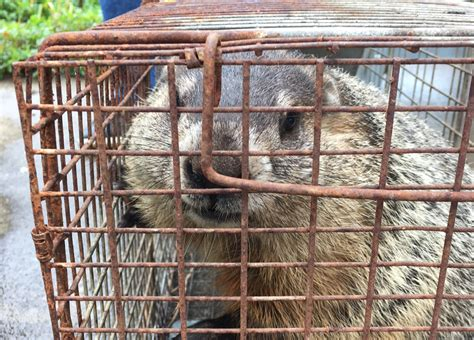 How To Keep Groundhogs Out Of Garden by Tip How To Keep Animals Out Of Your Garden Growjourney
