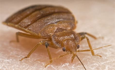 bed bugs photo are bed bugs real or a myth bed bug faq