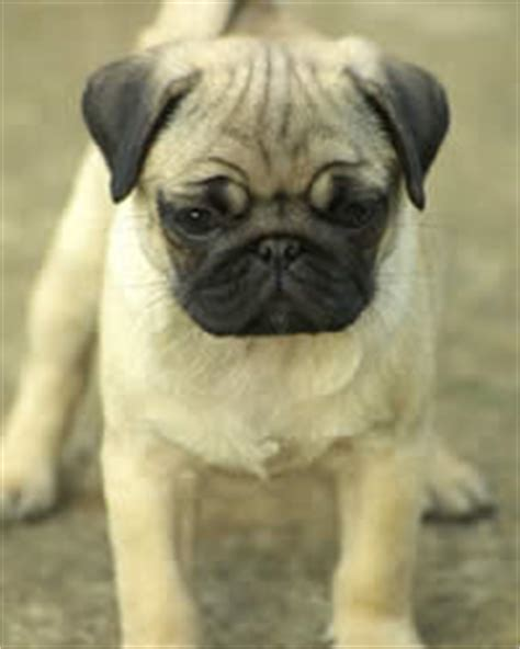 pug breed history pug breed history temperament care more dogs and advice