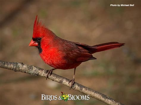 wild life cardinal birds wallpaper wild birds