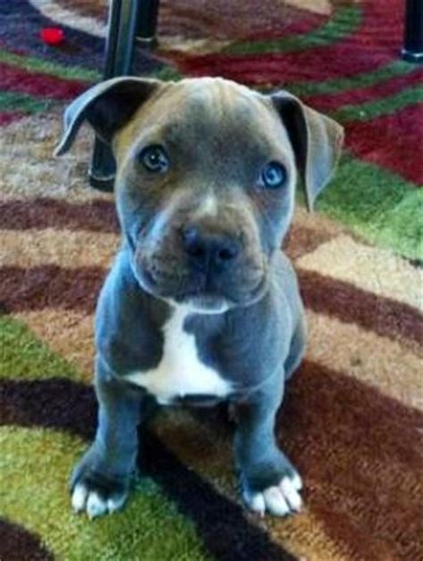 7 week pitbull puppy blue pitbull terrier zeus at 14 weeks this is my 3 year s puppy just
