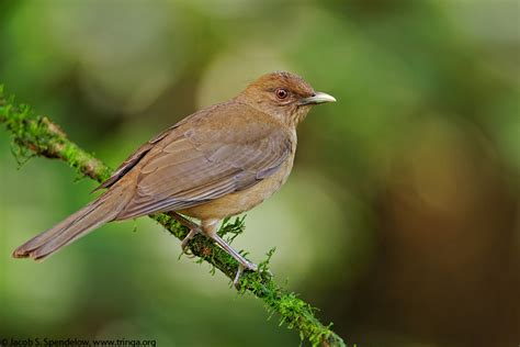 clay colored thrush clay colored thrush 8