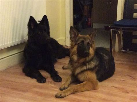 king german shepherd puppies for sale king german shepherd for sale crewe cheshire pets4homes