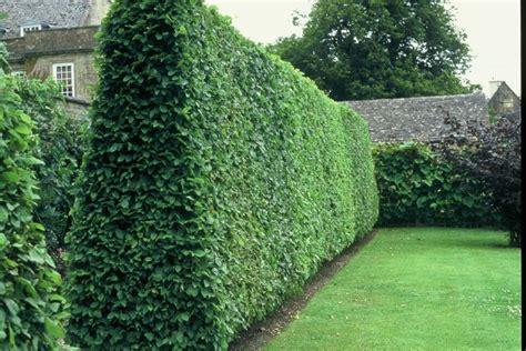 privet ligustrum vulgare 20 extra seeds fast growing hedge