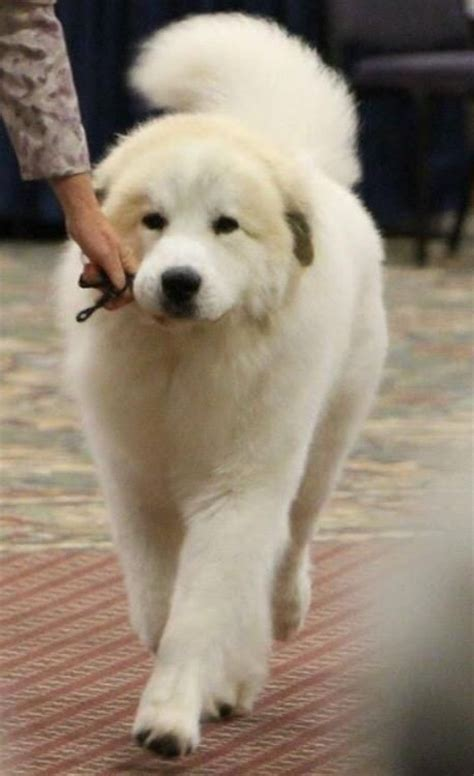 Great Pyrenees Shedding Information 17 best images about great pyrenees on coats