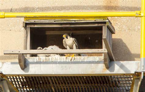 big peregrine news a new nebraska nest nebraskaland