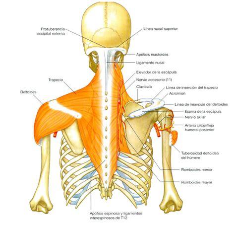 cuales son las cadenas ganglionares del cuello miembro superior la perfecci 211 n de tu cuerpo