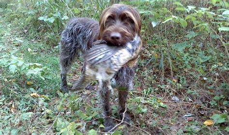 wire haired griffon puppy wirehaired pointing griffon info temperament puppies pictures