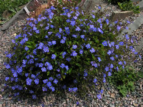 Ga Blue Peduncularis Blue Blue