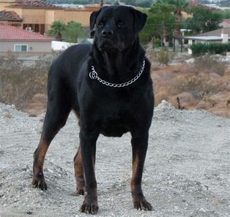 rottweiler dangerous dogs list all list of different dogs breeds top 10 most dangerous breeds list in the world
