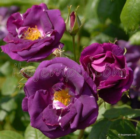 Bunga Violces Pink macam macam bunga mawar sisilyaputri