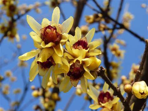 calicanto fiore calicanto chimonanthus praecox chimonanthus praecox