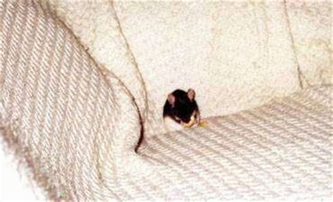 can dogs eat banana chips keeping mice as pets