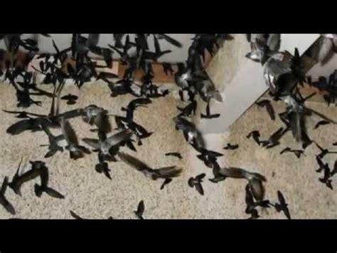 Dijamin Sirine 6 Suara suara burung walet inap dijamin ngak nyesal