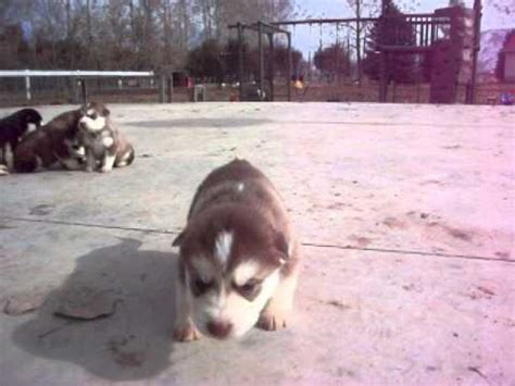 alusky puppies for sale alusky puppy howling for sale