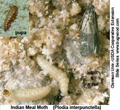 Pantry Moth Cycle by Indian Meal Moths Northwest Center For Alternatives To