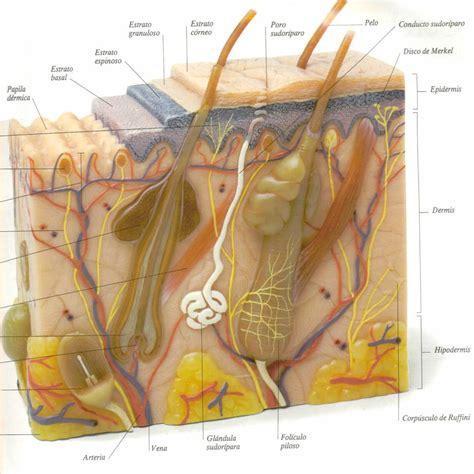 en la piel de 191 cu 225 les son las diferentes capas de la piel colafit colombia