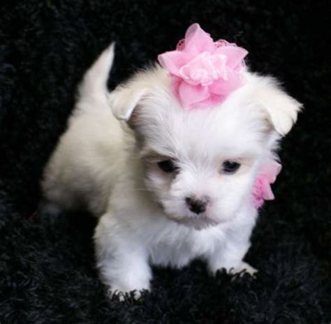 teacup yorkie maltese sociable teacup yorkie maltese and chihuahua puppies cheyenne wy