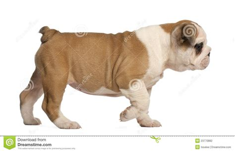 walking puppy bulldog puppy walking 2 months stock photography image 23770882