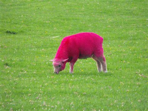 Sheep Pink pink sheep wallpaper wallpapersafari
