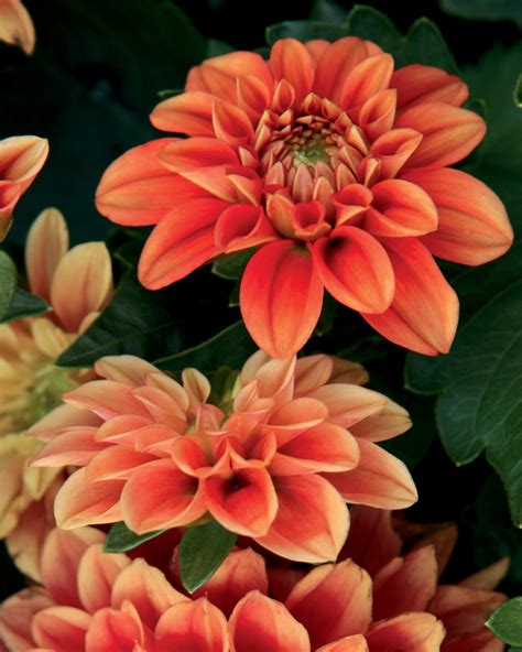 the questionable behavior of dahlia moss a dahlia moss mystery books dalina 174 midi pinta dahlia hybrid proven winners