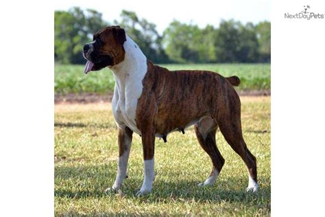 boxer puppies for sale in utah boxer puppies for sale utah boxer breeder breeders of chion breeds picture