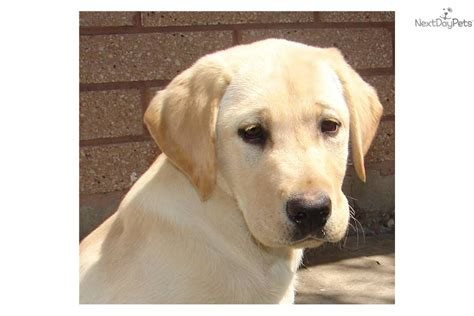 american lab puppies for sale purebred all american yellow lab puppy labrador retriever puppy for sale near