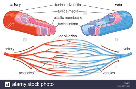 cross section of an artery cross section showing component parts of arteries and