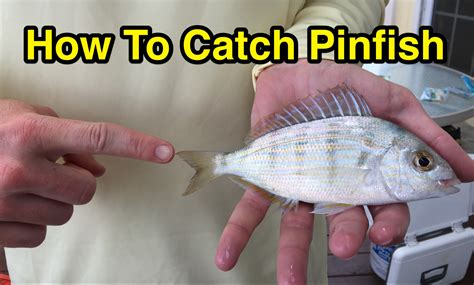 where when and how to catch fish on the east coast of florida classic reprint books how to catch pinfish for bait without a net or trap