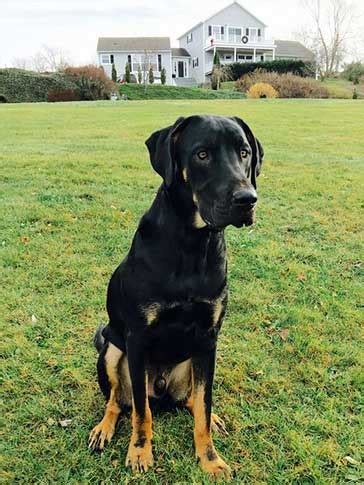 great dane rottweiler mix is the great dane rottweiler mix much for families to handle