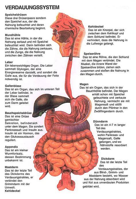 innere organe bilder anatomie innere organe frau die besten 25 organe im