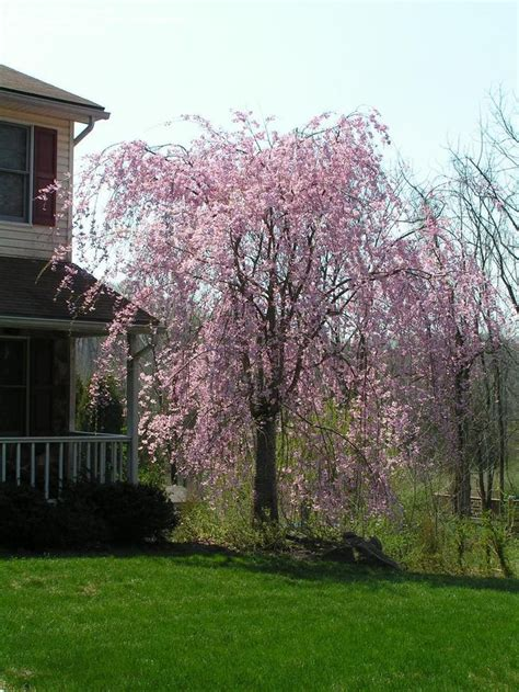 mr d cherry tree pa flowering cherry montgomery county pa my yard plans trees cherries and beautiful